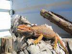 Bearded Dragon (<i>Pogona vitticeps</i>) Adult male