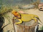 Bearded Dragon (<i>Pogona vitticeps</i>) Old Yellow male dragon