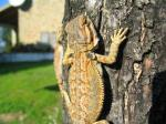Bearded Dragon (<i>Pogona vitticeps</i>) Three month old young