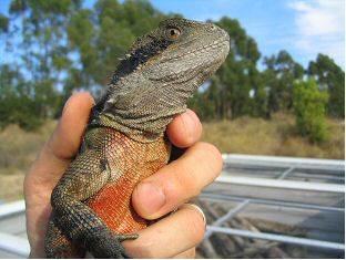 Australian Water Dragon (Physignathus leseurii) Adult Male